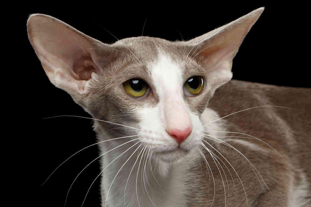 Oriental shorthair cat, Cat Breeds information - Full Of Cats